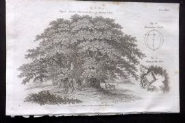 Encyclopaedia Perthensis 1816 Print. Great Chestnut Tree Mount Etna, Sicily 141